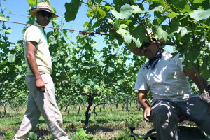 Long-time Linden employees, two of the cousins Chavez tending the vines.