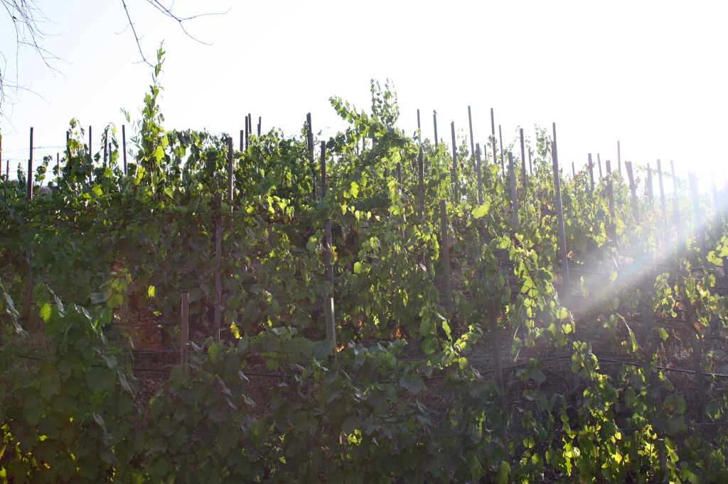 Sun setting over grape vines, Malibu AVA